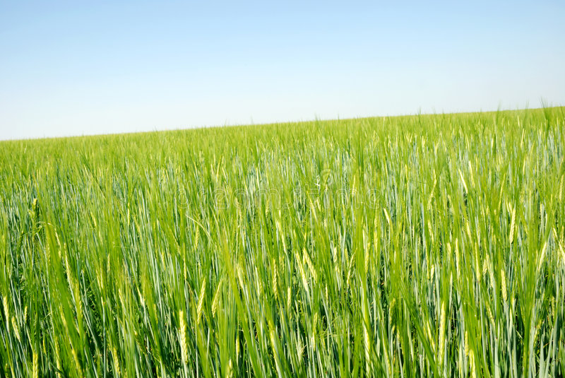 Field of barley. Spring field of barley and blue sky stock photo