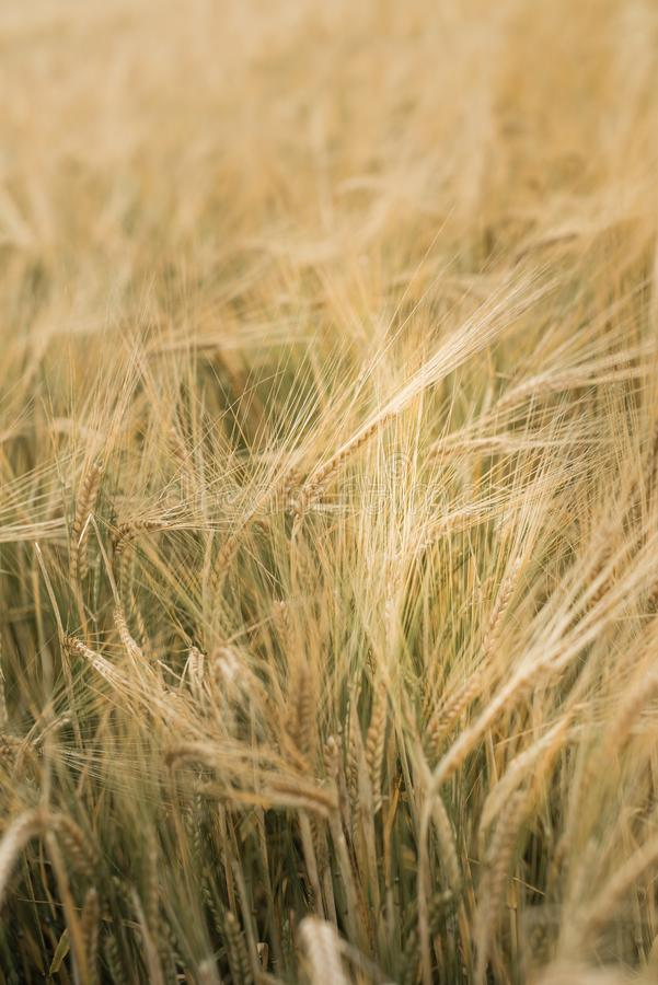 Field of barley at the end of the summer royalty free stock photo