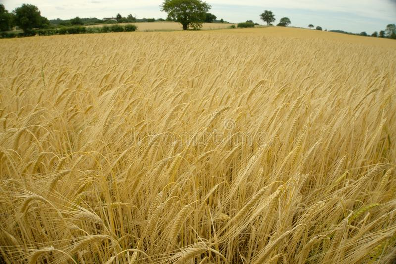 Field of Barley. A field of barley almost ready for harvesting stock images