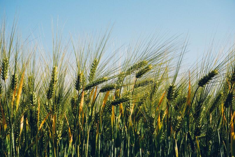 Field Of Barley Free Public Domain Cc0 Image