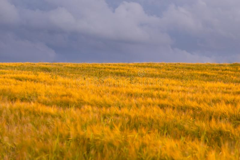 Field of barley. Before sunset and the sky in the clouds. Аbstract nature background stock images