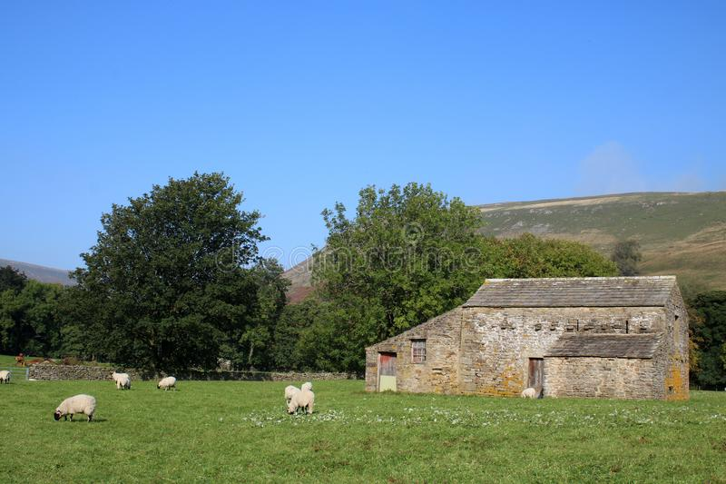 Field barn with sheep grazing in surrounding field. Traditional field barn in countryside with sheep grazing in surrounding field in Swaledale, North Yorkshire royalty free stock photos