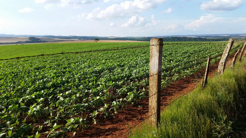 Field of beans in parana, brazil stock photos