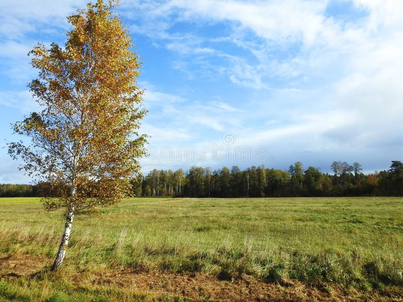 Field and beautiful autumn birch tree, Lithuania royalty free stock image