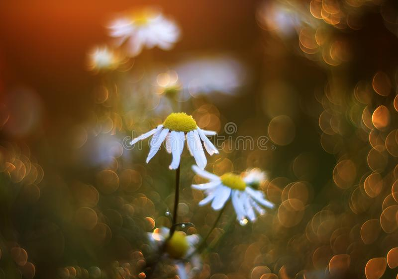 field with beautiful Daisy flowers surrounded by brilliant Golden rays and circles royalty free stock image