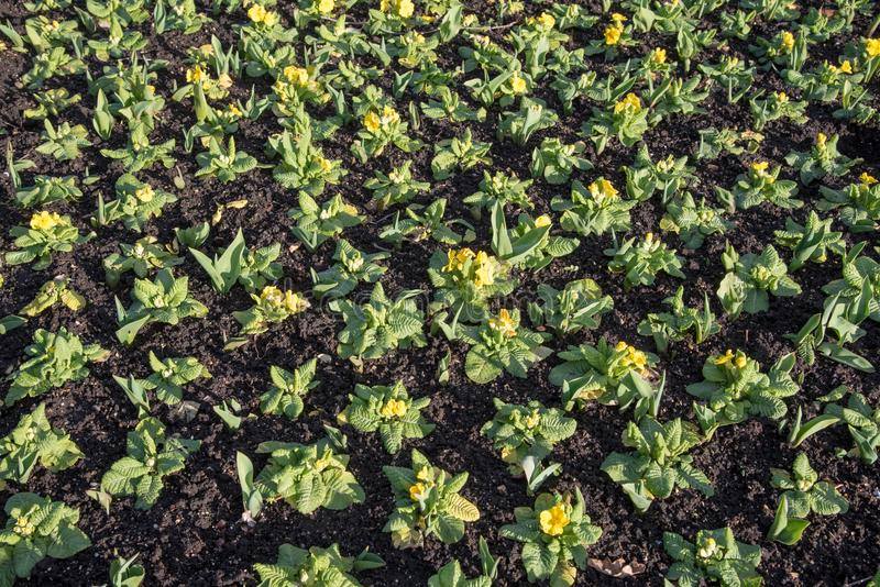 Field of beautiful garden plants with yellow flowers in a row stock photo