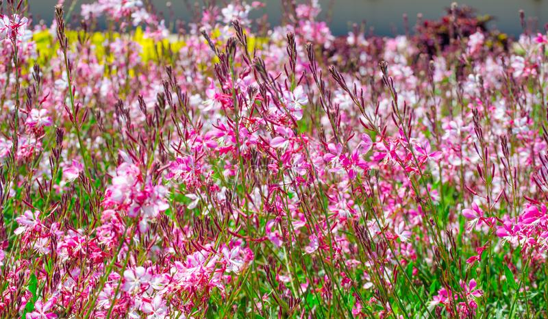 Beautiful lovely pink gaura flower or butterfly bush in a spring season at a botanical garden. A field of Beautiful lovely pink gaura flower or butterfly bush royalty free stock images