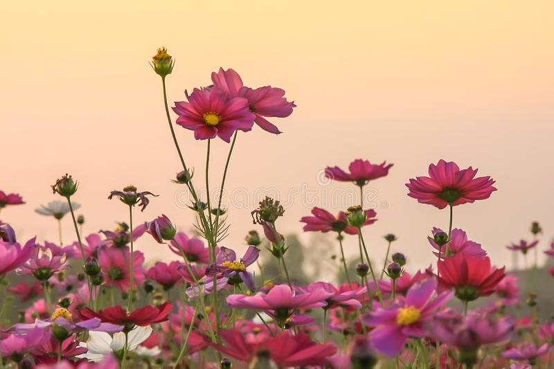 Field of beautiful pink flower and green leaf on sunset background in Thailand.  stock images
