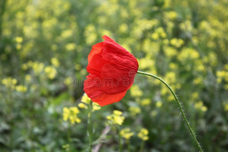 Beautiful poppies in nature stock image