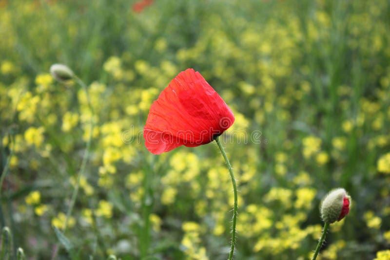 Beautiful poppies in nature stock photo