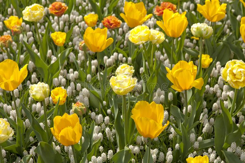 Field of beautiful tulips and white grapes stock photos