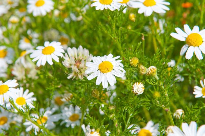 Field of beautiful white daisy. Wheels stock photography