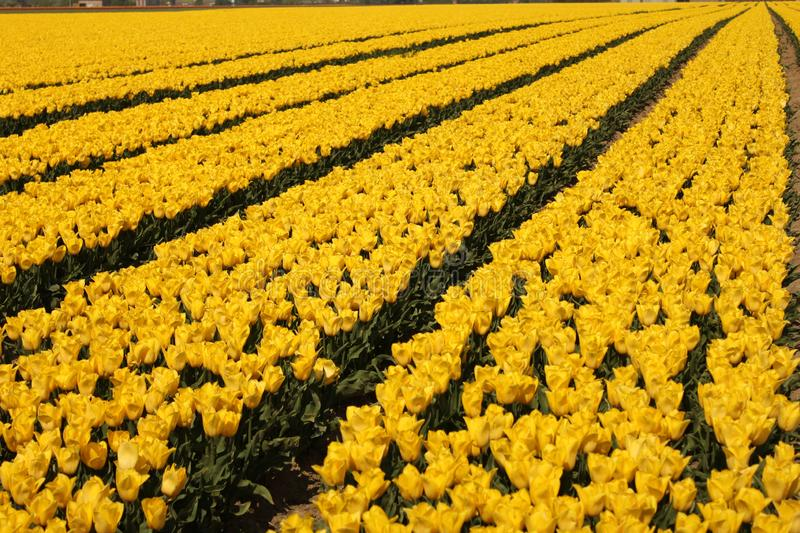 A field with beautiful yellow tulips and diagonal lines in holland in spring stock image
