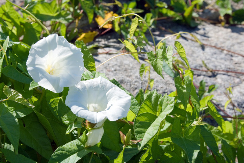 Download Field bindweed stock image. Image of ecology, white, convolvulus - 2905573