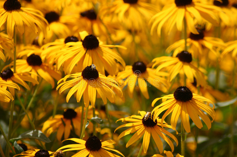 Field of Black-Eyed Susan royalty free stock photos