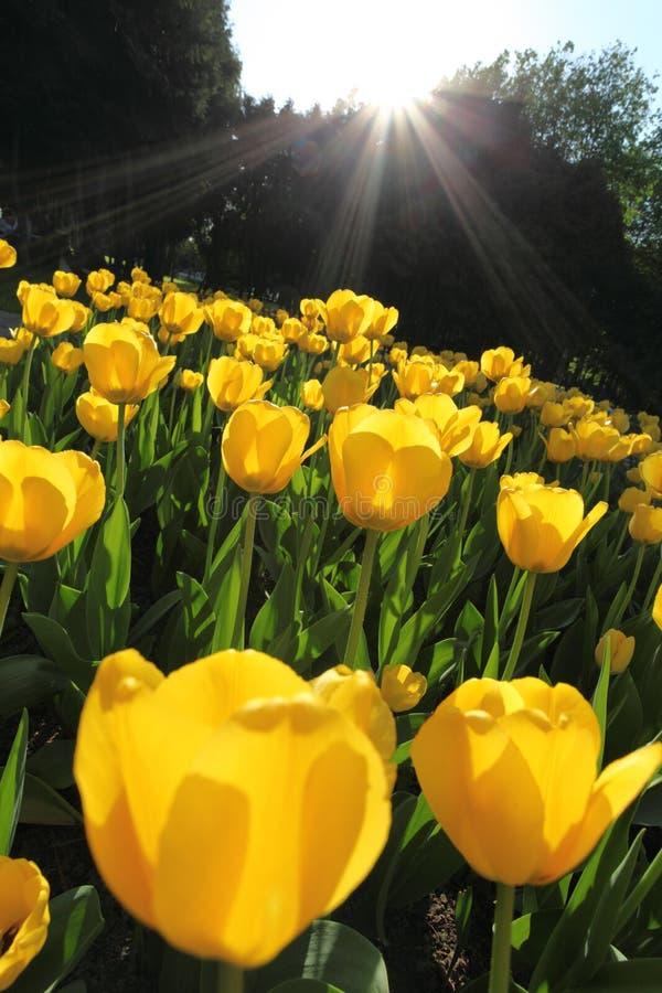 field blommatulpan royaltyfri bild