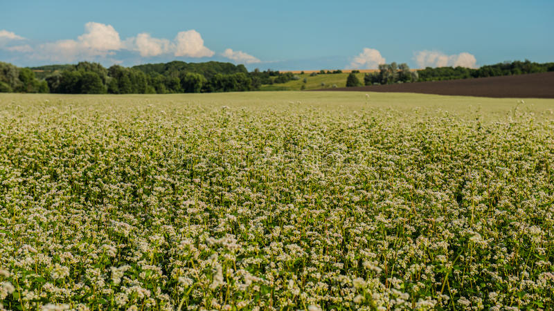 Field is blooming buckwheat royalty free stock image
