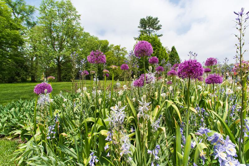 Field of blooming decorative onion flowers in spring garden stock image