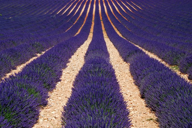 Lavender Field in Southern France royalty free stock photo