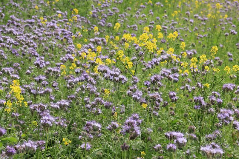 Blooming Rapeseed and Phacelia in the park. Field with blooming Rapeseed and Phacelia in in the park in spring in the village Zuidland in Holland stock photos