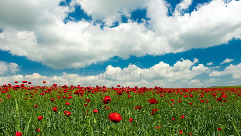 Field with blooming red poppies. Scenery royalty free stock photos