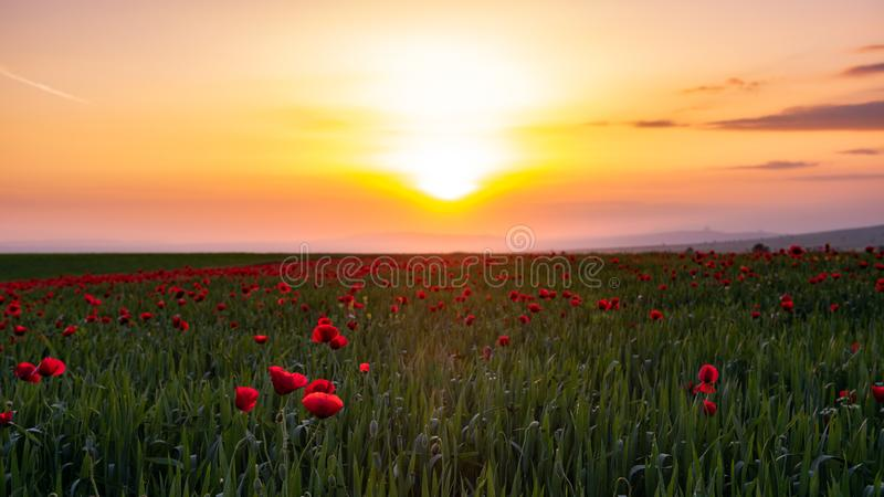 Field with blooming red poppies at sunset time. Scenery stock photos