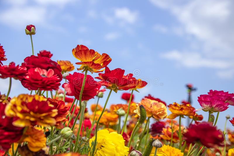 A field of blooming red and yellow buttercups flowers close up against the background of a deep sky with clouds stock images
