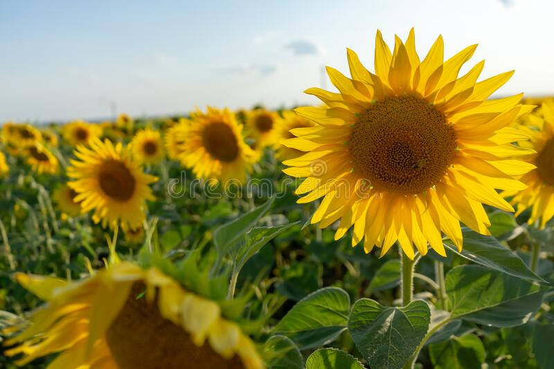 Field of blooming sunflower. Sunflower close-up and bees pollinating it. Agricultural production. Farming. Growing food stock images