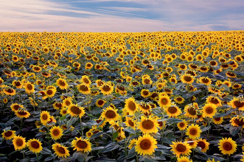 Field of blooming sunflowers on background of cloudy blue sky. royalty free stock photography