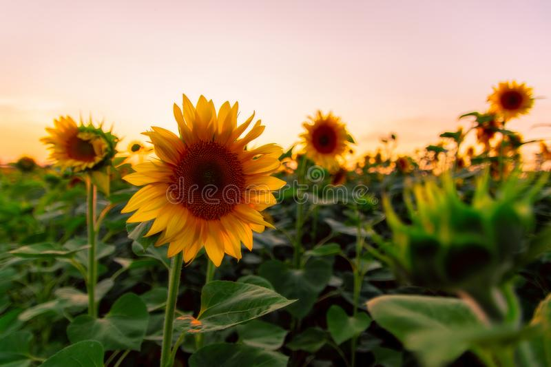 Field of blooming sunflowers on a background sunset. Yellows, backgrounds, leaves, summers, natures, fields, beauties, agricultures, blossoms, beautifuls stock image