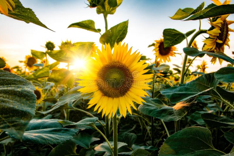 Field of blooming sunflowers on a background sunset. Yellows, backgrounds, leaves, summers, natures, fields, beauties, agricultures, blossoms, beautifuls royalty free stock image