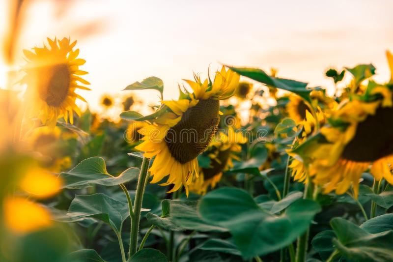 Field of blooming sunflowers on a background sunset. Yellows, backgrounds, leaves, summers, natures, fields, beauties, agricultures, blossoms, beautifuls royalty free stock photos