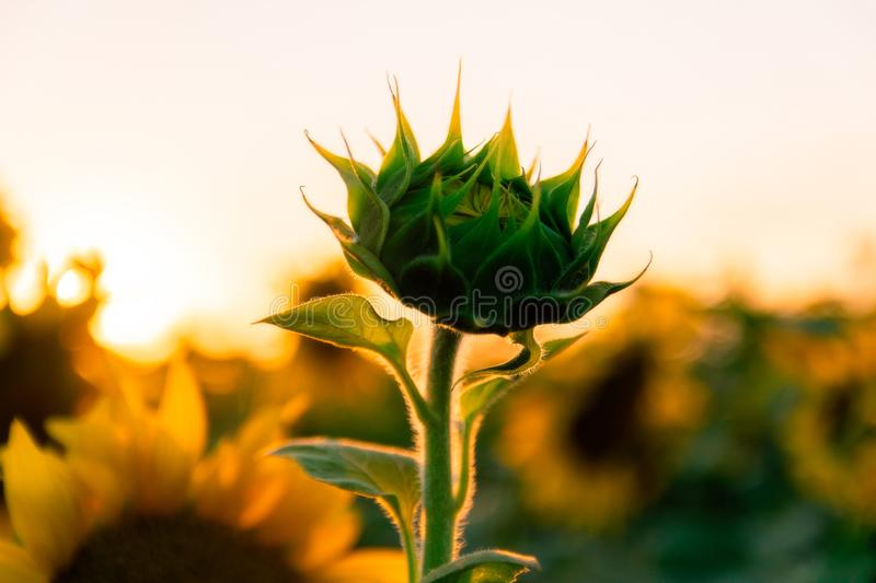 Field of blooming sunflowers on a background sunset. Yellows, backgrounds, leaves, summers, natures, fields, beauties, agricultures, blossoms, beautifuls stock photos