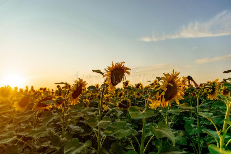 Field of blooming sunflowers on a background sunset. Yellows, backgrounds, leaves, summers, natures, fields, beauties, agricultures, blossoms, beautifuls royalty free stock photo