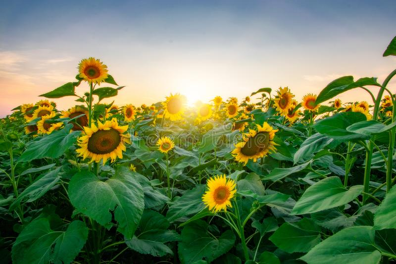 Field of blooming sunflowers on a background sunset. Yellows, backgrounds, leaves, summers, natures, fields, beauties, agricultures, blossoms, beautifuls royalty free stock images