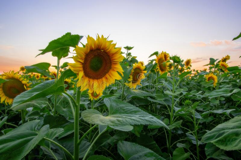 Field of blooming sunflowers on a background sunset. Yellows, backgrounds, leaves, summers, natures, fields, beauties, agricultures, blossoms, beautifuls stock photography