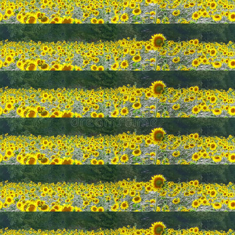 Field of blooming sunflowers in summer on a Sunny day with green forest on background, photographic collage royalty free stock photography