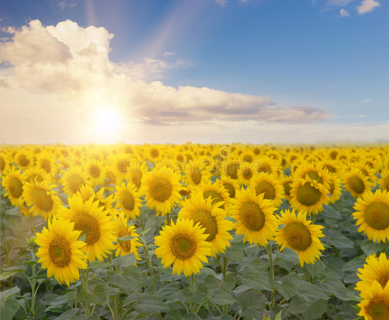 Field of blooming sunflowers royalty free stock photography