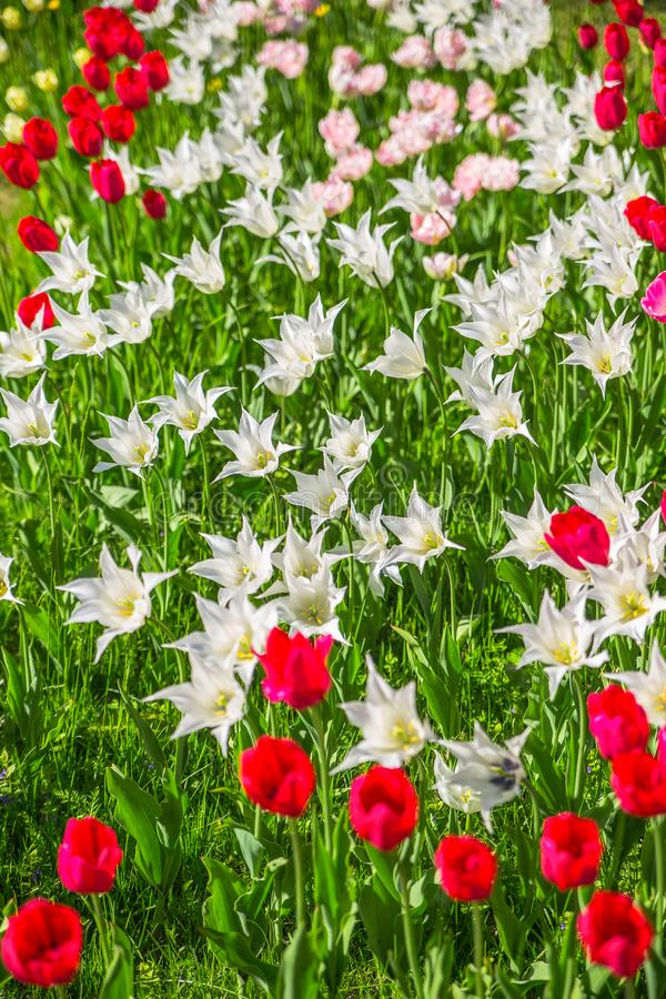 Field of blooming tulips in the Park stock photos
