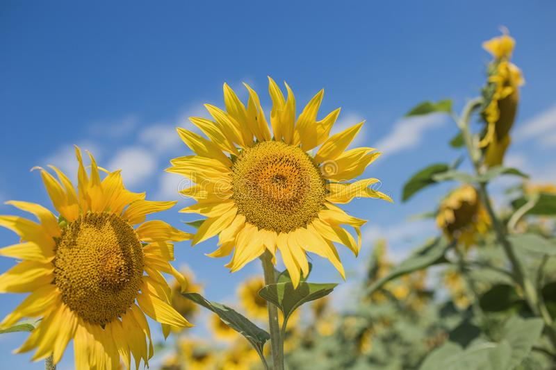 Field of blossoming sunflowers against the blue sky stock images
