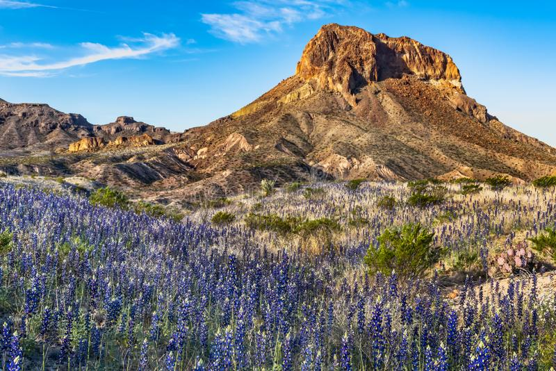 Field of blue bonnets along side Cerro Castellan. Field of blue bonnets along side Cerro Castella in Big Bend National Park stock photography