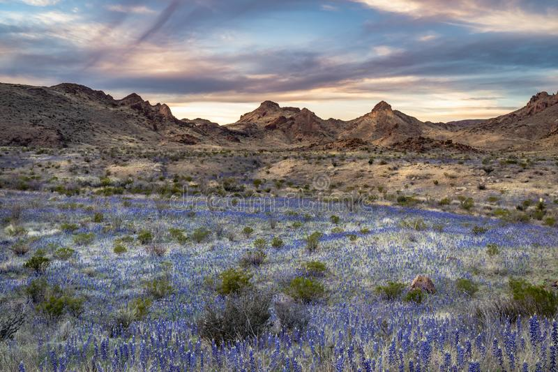 Field of blue bonnets in Big Bend National Park. During 2019 super bloom royalty free stock image