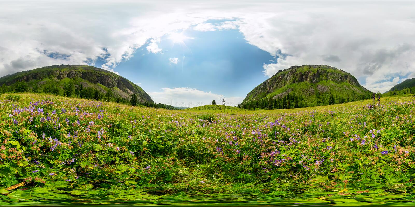 Field of blue flowers in the mountains on a cloudy day. Spherical 360-degree vr panorama royalty free stock image