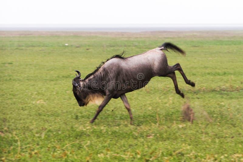 Running blue wildebeest in Ngorongoro Conservation Area stock photos