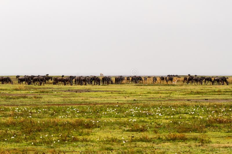 Field with zebras and blue wildebeest royalty free stock images