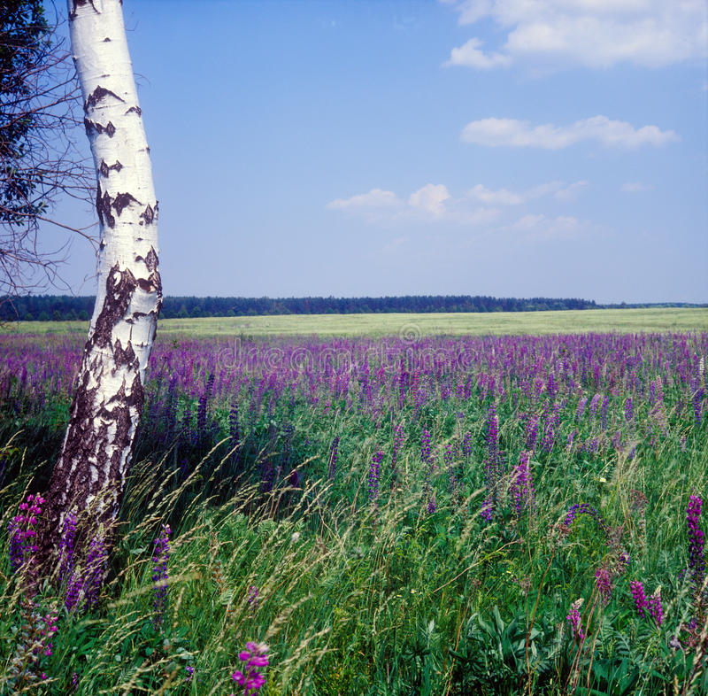 Download The Field Of Bluebonnets. Royalty Free Stock Images - Image: 15051919