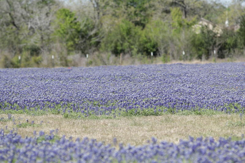 Field of bluebonnets stock images