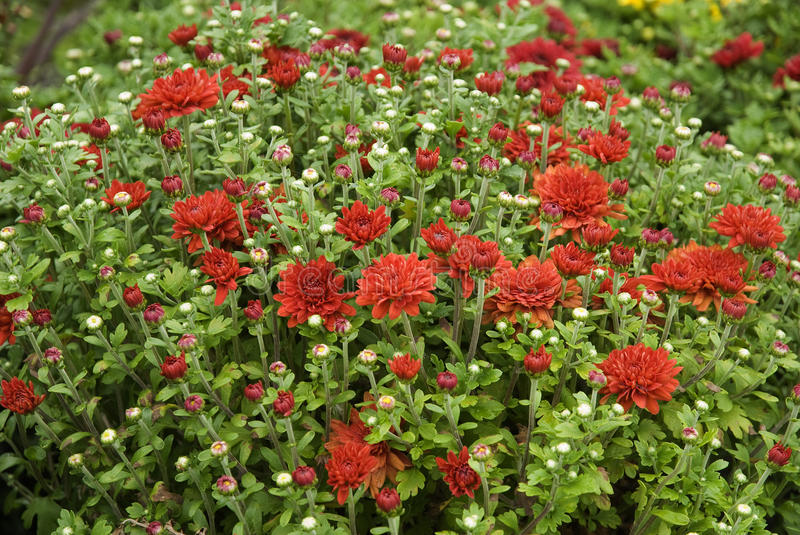 Field of bright red mums