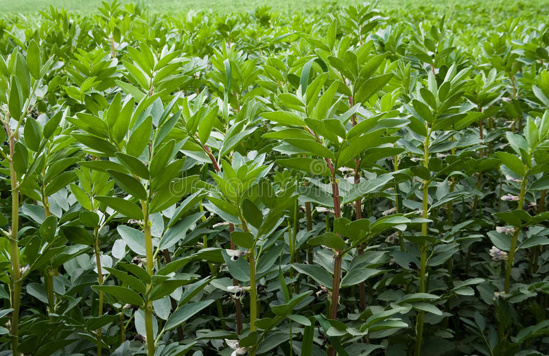 Field of broad beans stock image
