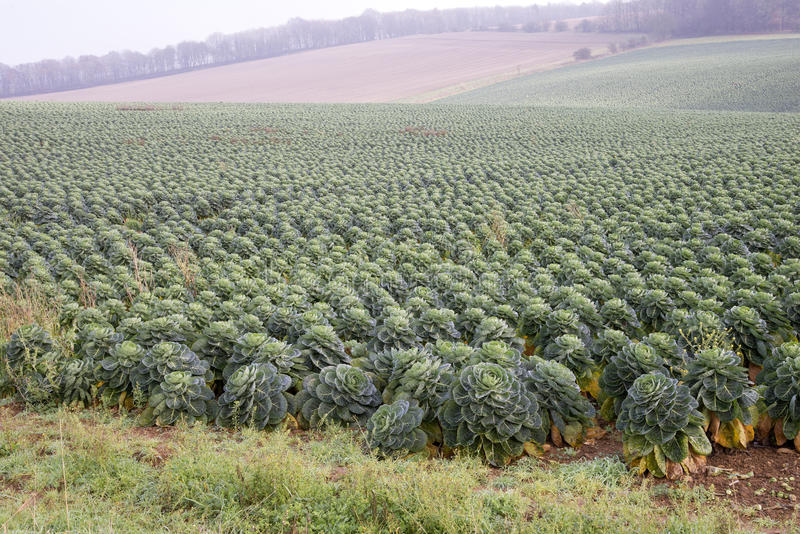 Field of Brussel sprouts in the UK. Brussel Sprouts crop growing on an English farm in Gloucestershire UK royalty free stock image
